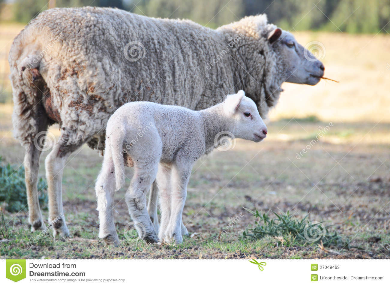 Merino ewe sheep with her new baby Spring lamb