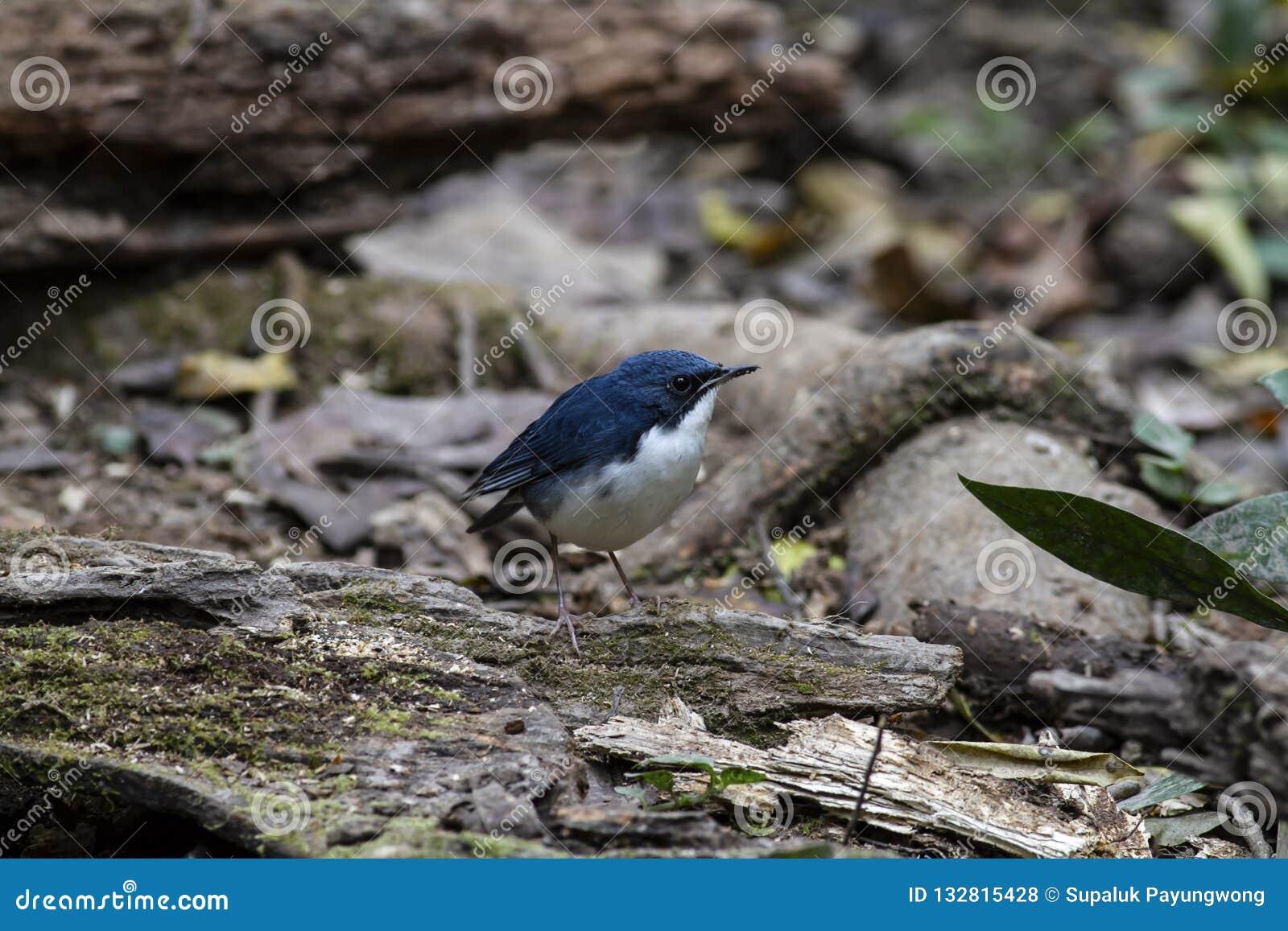 Merle bleu sibérien