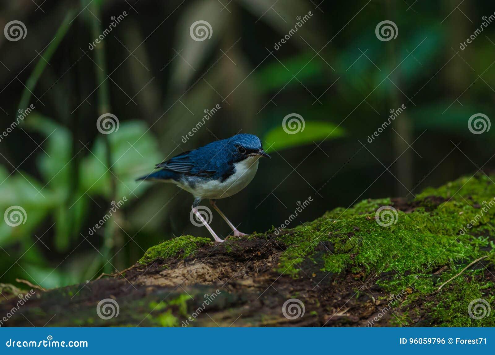 Merle bleu sibérien et x28 ; Cyane& x29 de Luscinia ;