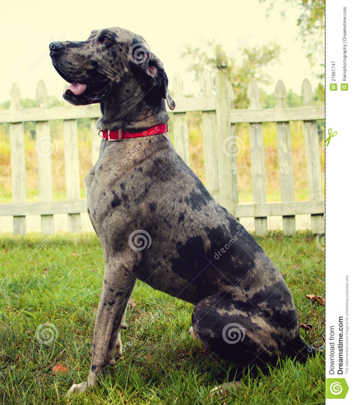 Merle Great Dane Stock Image Image Of Merle Fence Puppy