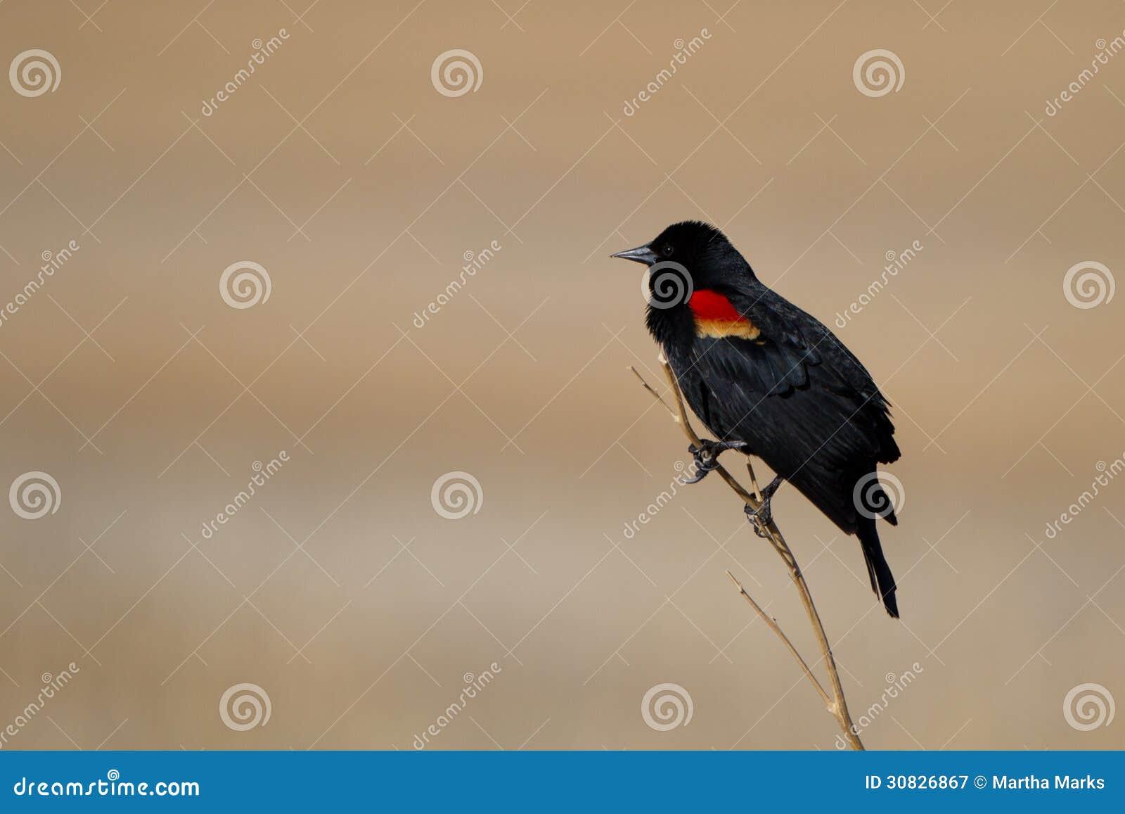 Merlo ad ali rosse, phoeniceus del Agelaius
