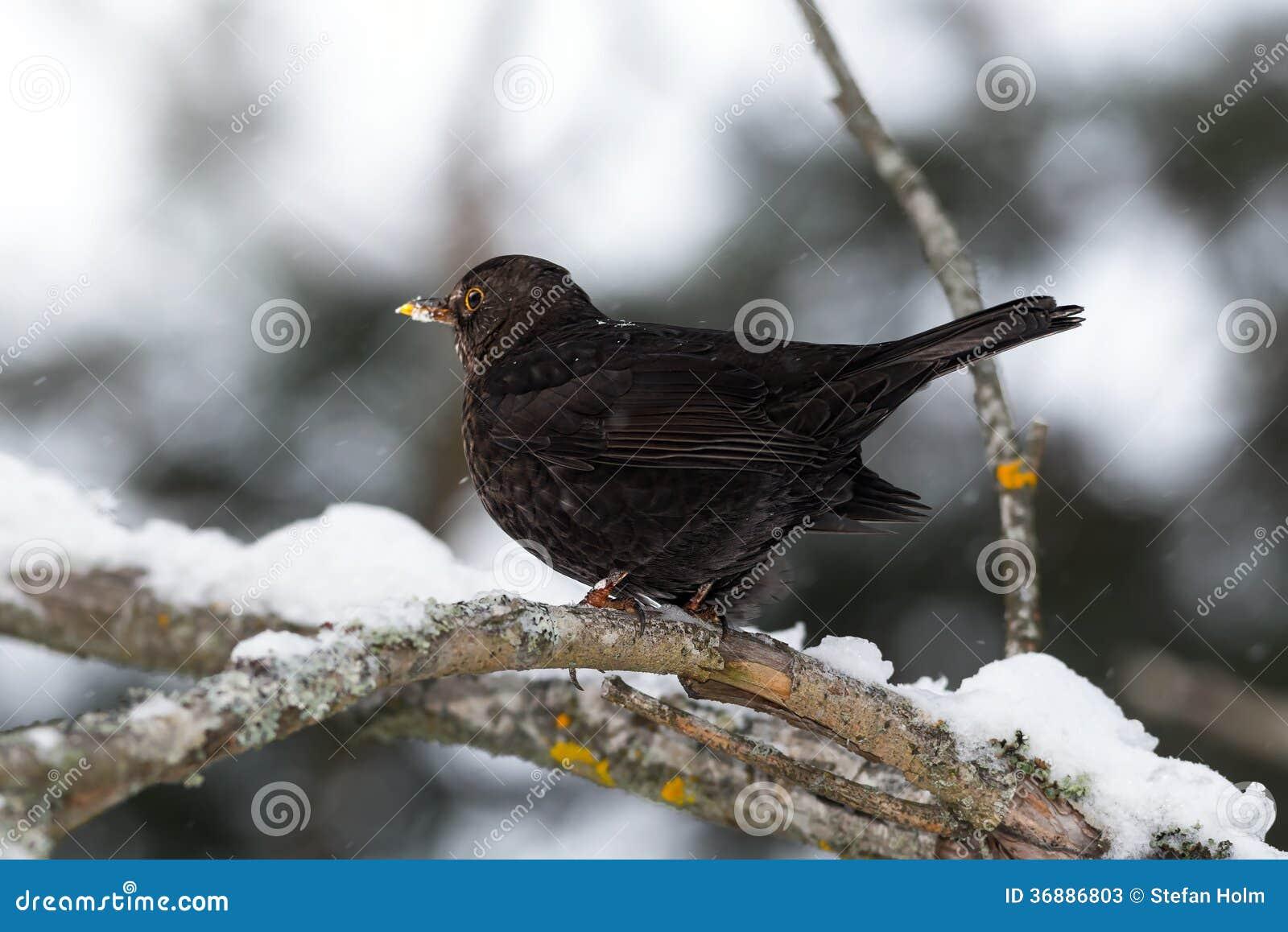 Download Merlo Comune In Una Regolazione Di Inverno Immagine Stock - Immagine di birdwatch, arancione: 36886803