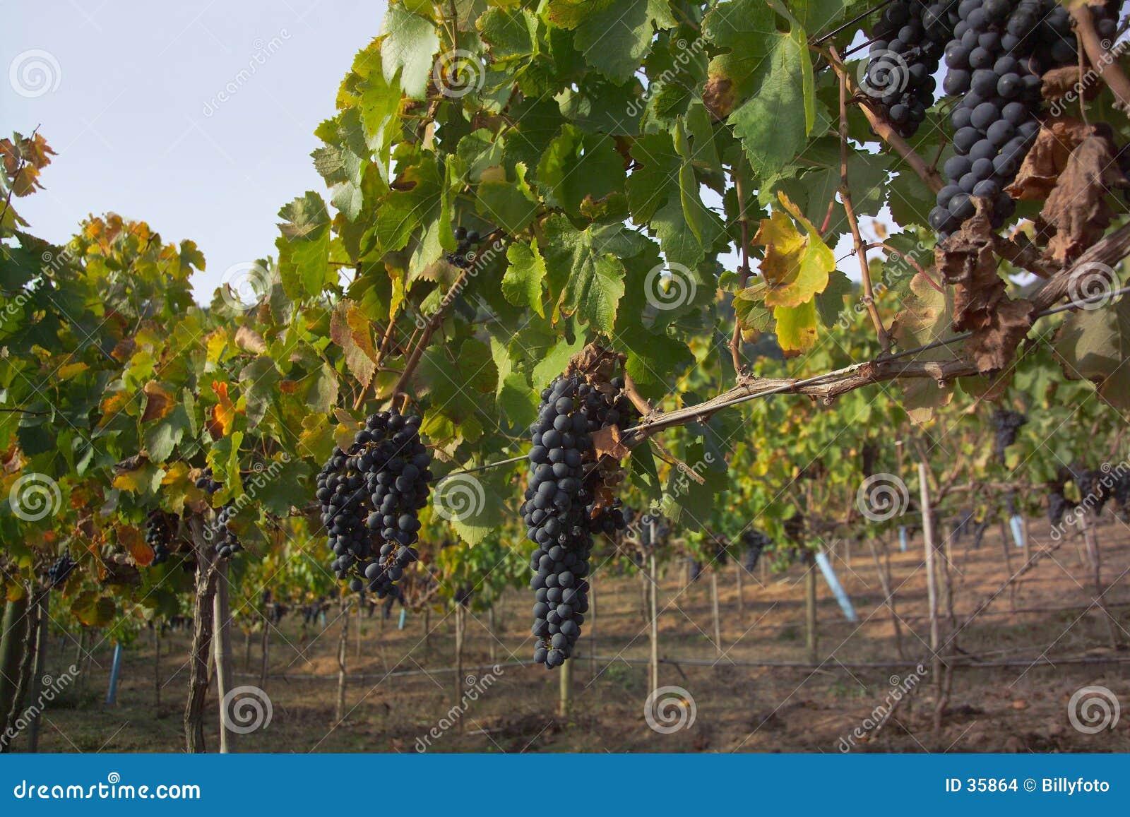 Merlot druiven in wijngaard