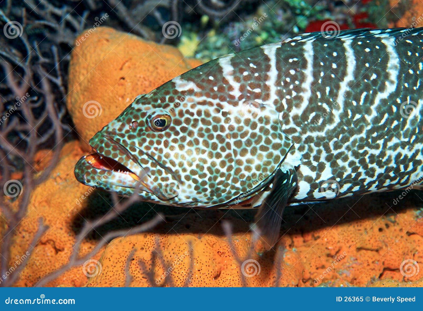 Download Mero del tigre imagen de archivo. Imagen de cayman, marina - 26365
