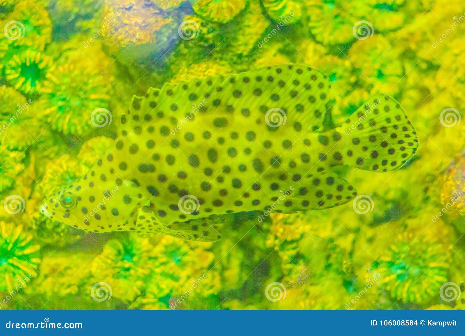 Mero jorobado lindo, mero de la pantera, o bacalao del barramundi (Cromi