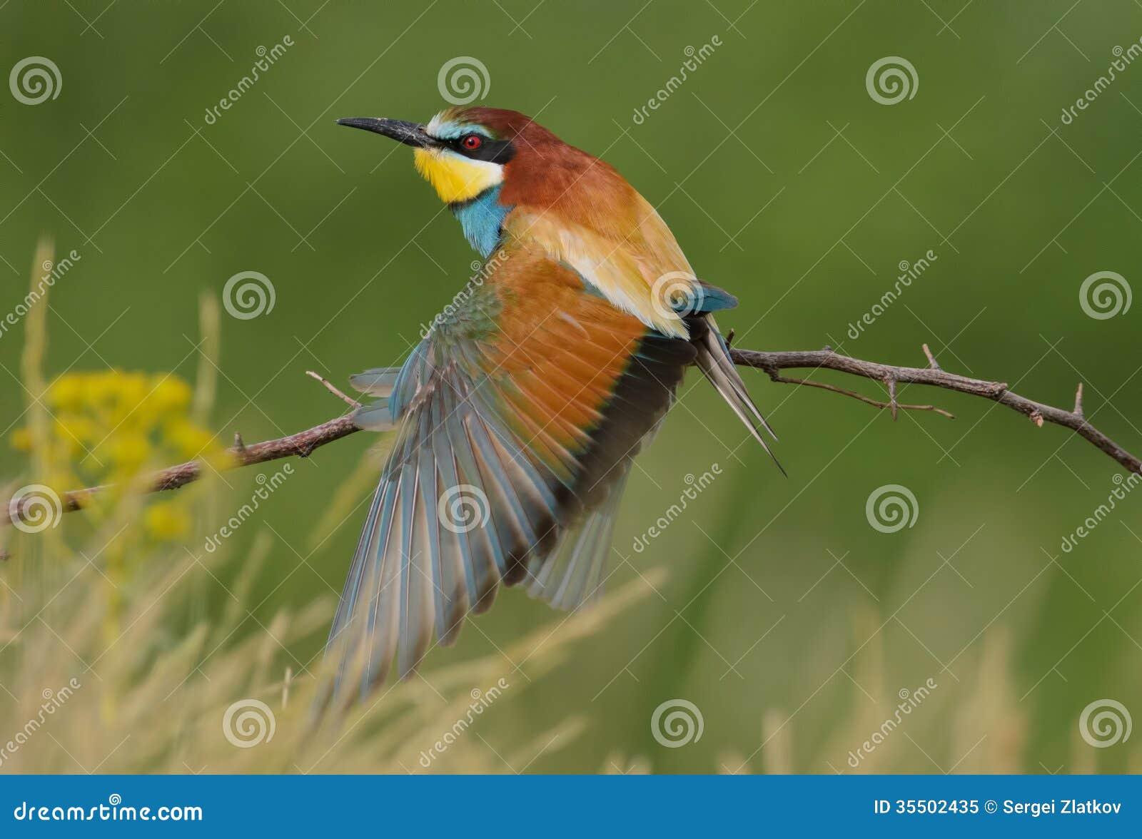 (Merops apiaster