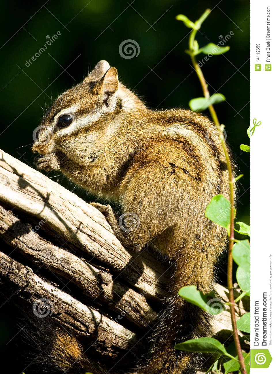 Merriam s Chipmunk