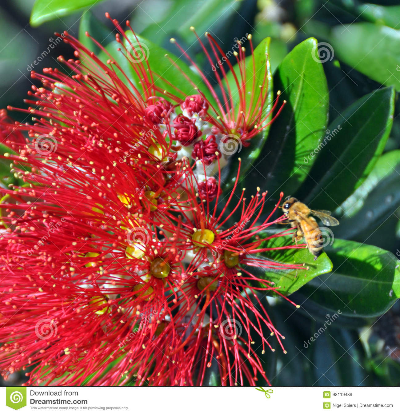 Merry Christmas From New Zealand - Pohutukawa & Bee Stock Image ...