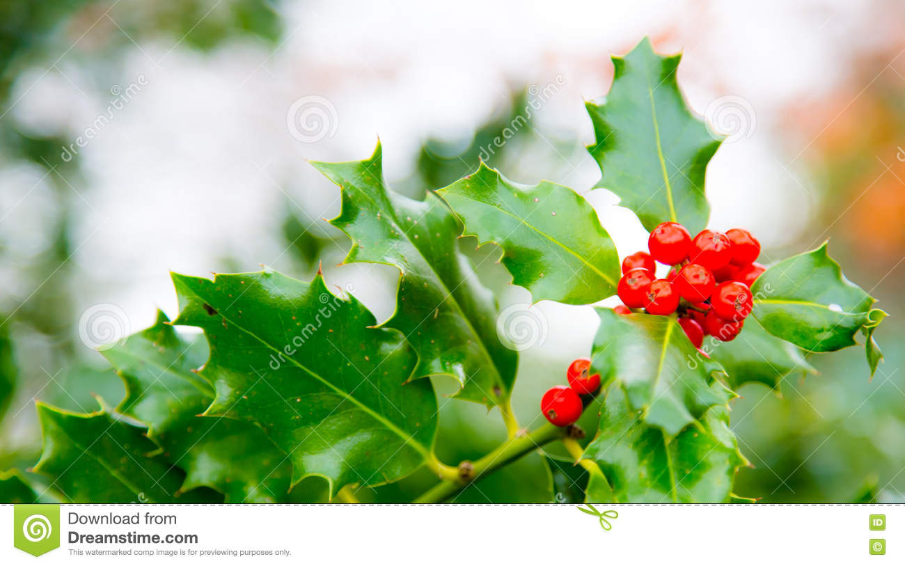 merry christmas realistic thistle red berry email ot top header background greetings shot in virginia water - Merry Christmas Email
