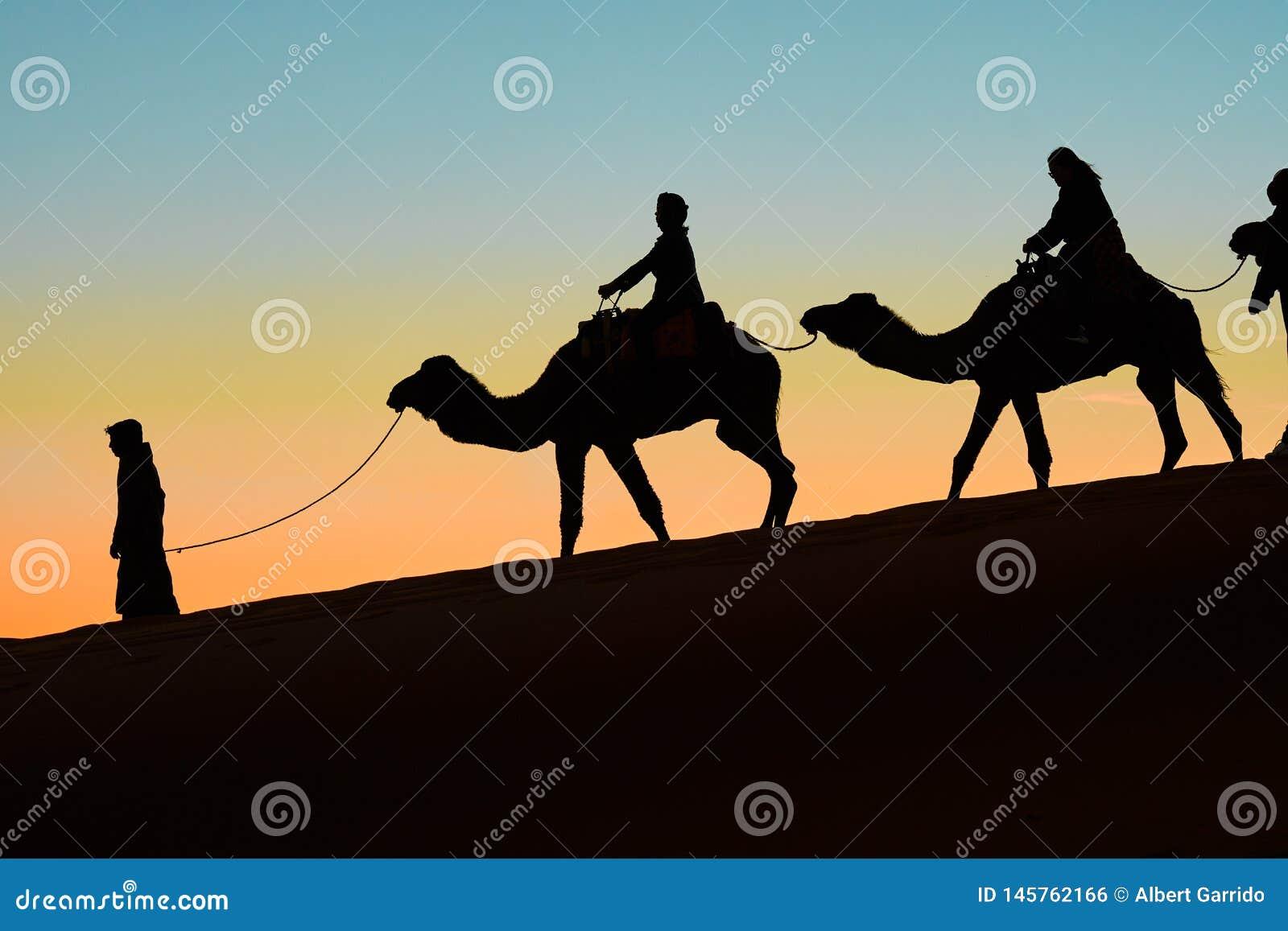 Merzouga Maroko, Grudzień, - 03, 2018: backlight wielbłądów zmierzch