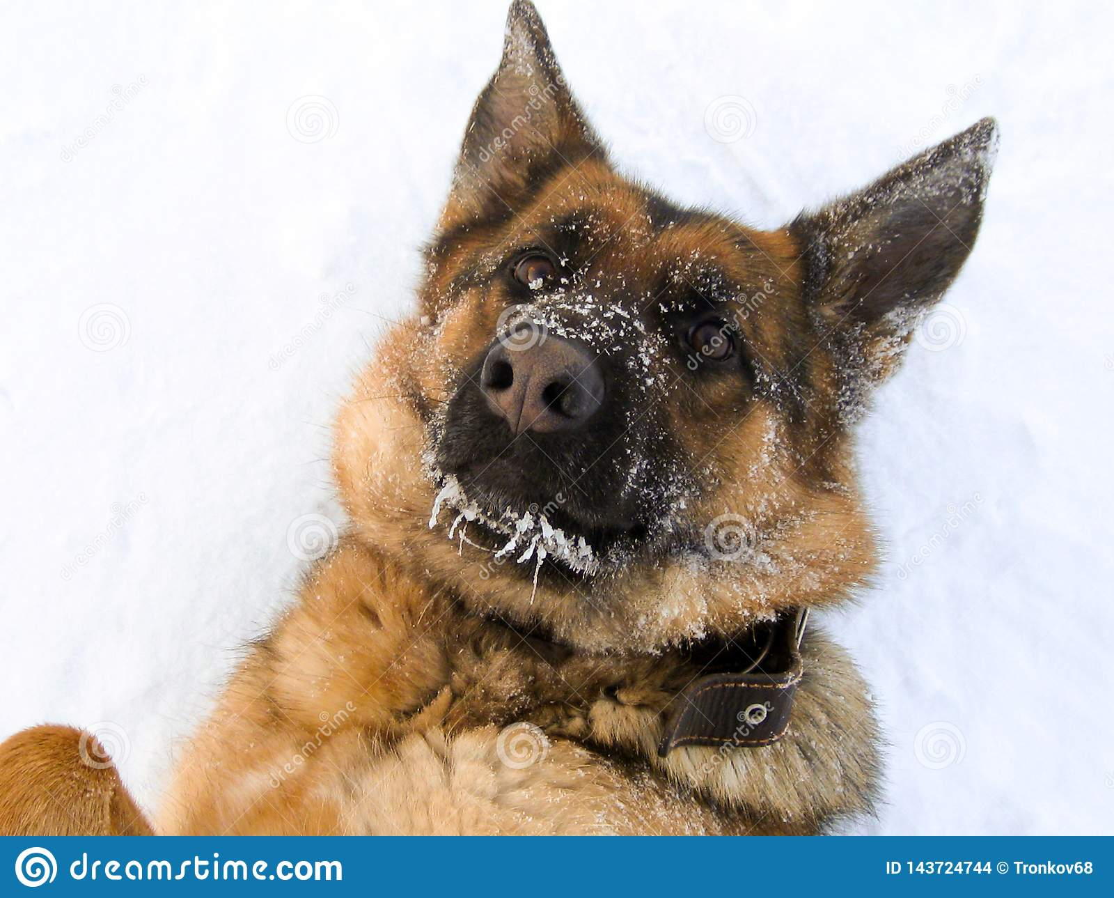 Mes amours préférés de chien étant se situer photographié dans la neige
