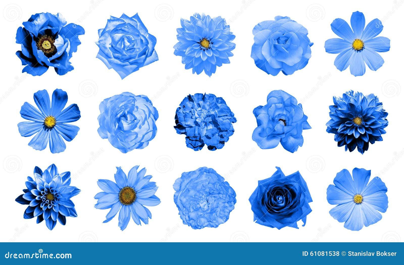 Mescoli il collage dei fiori naturali e surreali 15 del blu in 1: dalie, primule, aster perenne, fiore della margherita, rose, pe