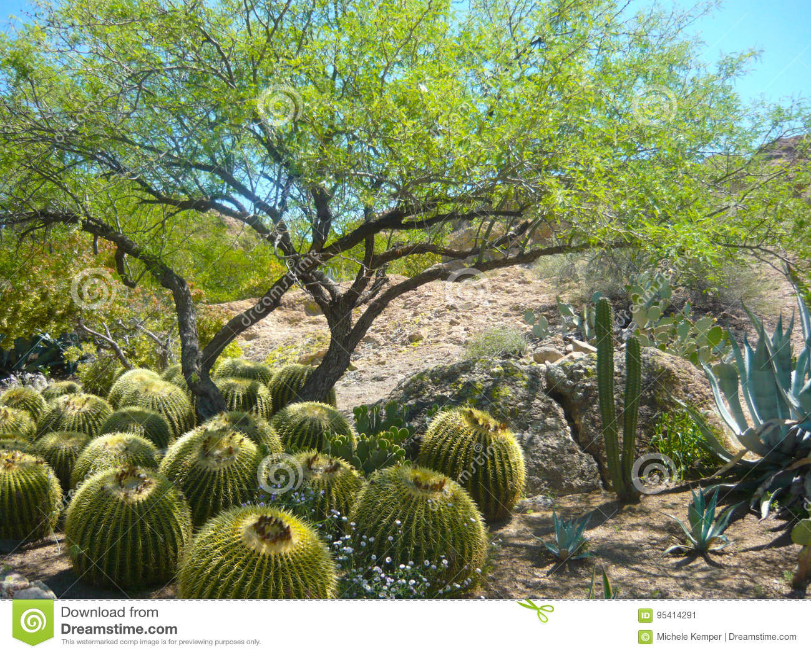 Barrel Cactus under Mesquite tree shade