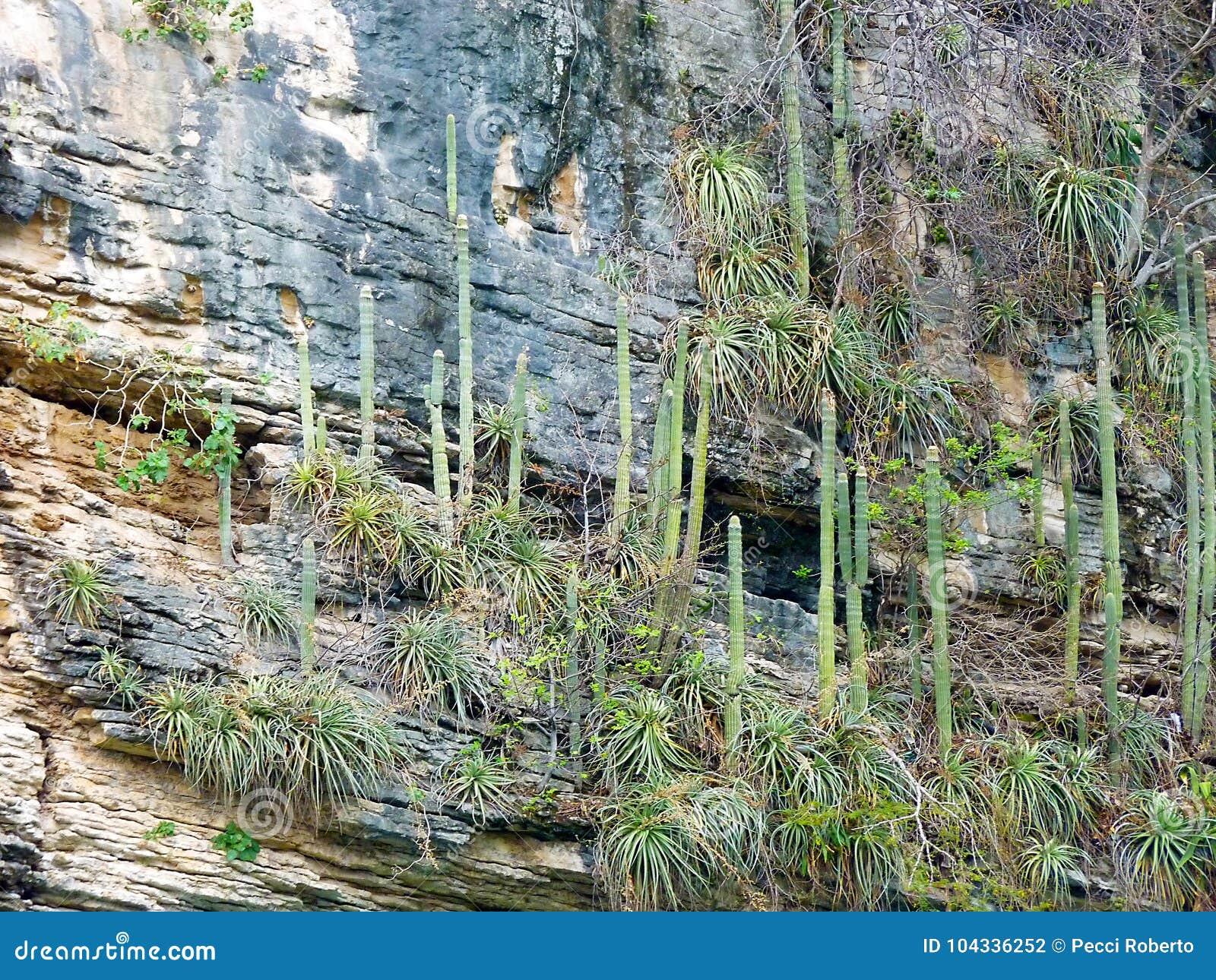 Messico, Chiapas, Tabasco, Tuxtla Gutiérrez, Canyon Del Sumidero, Kaktus auf den Schluchtwänden