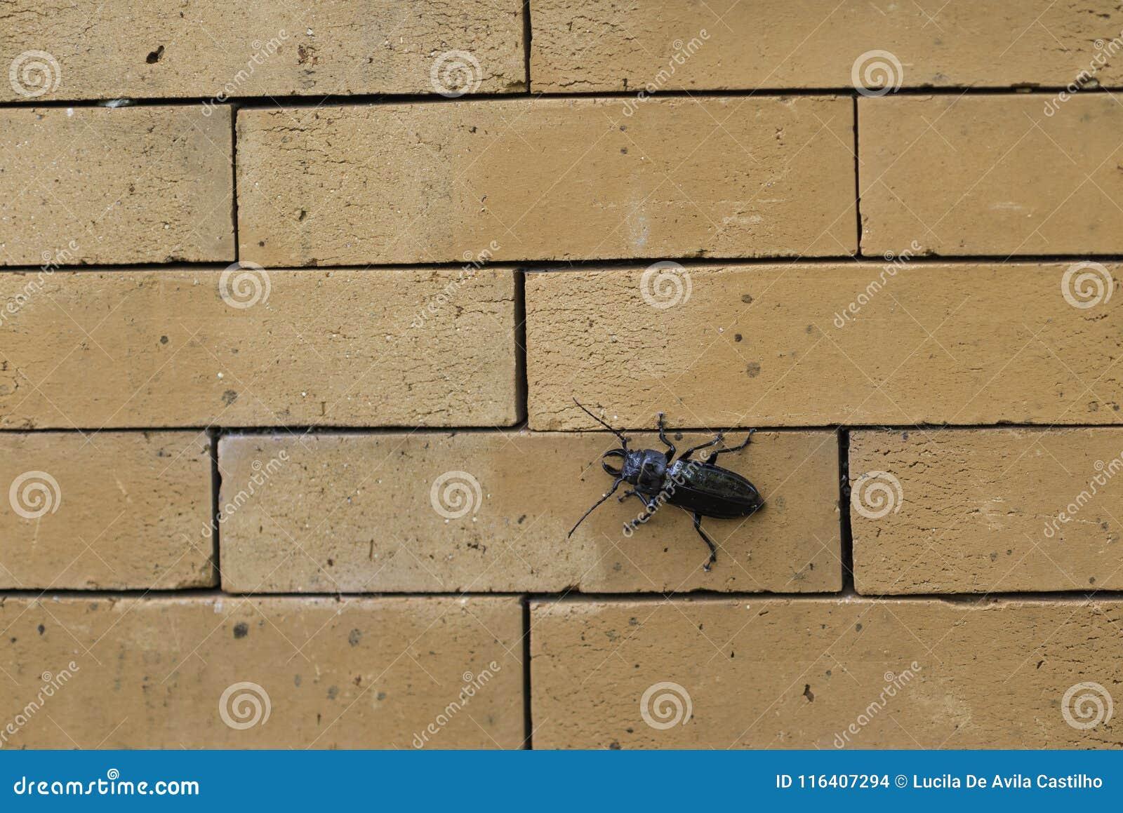 Mestkever calmly schalen de bakstenen muur