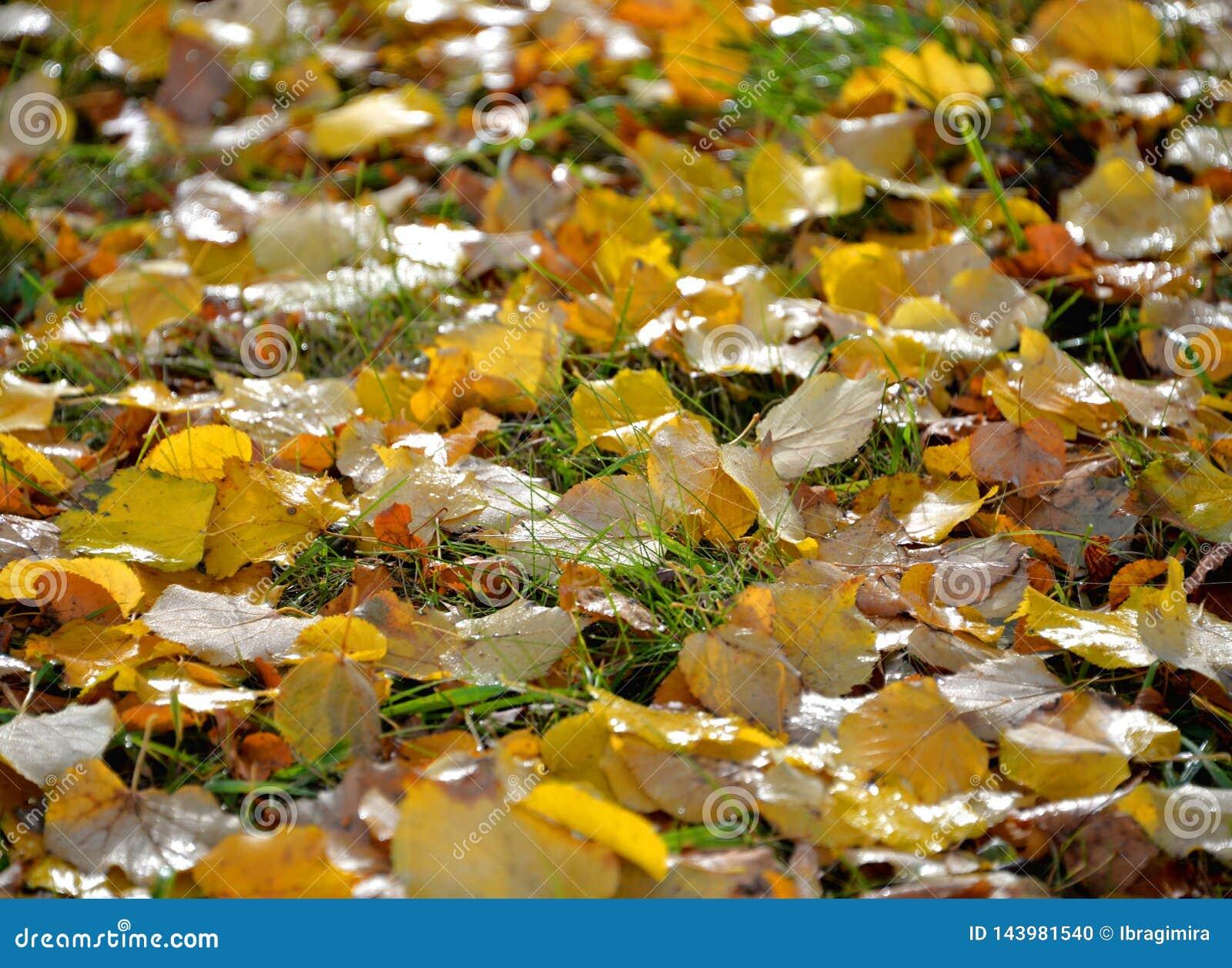 Met dauw bedekt tapijt van de herfstgebladerte op groen gras