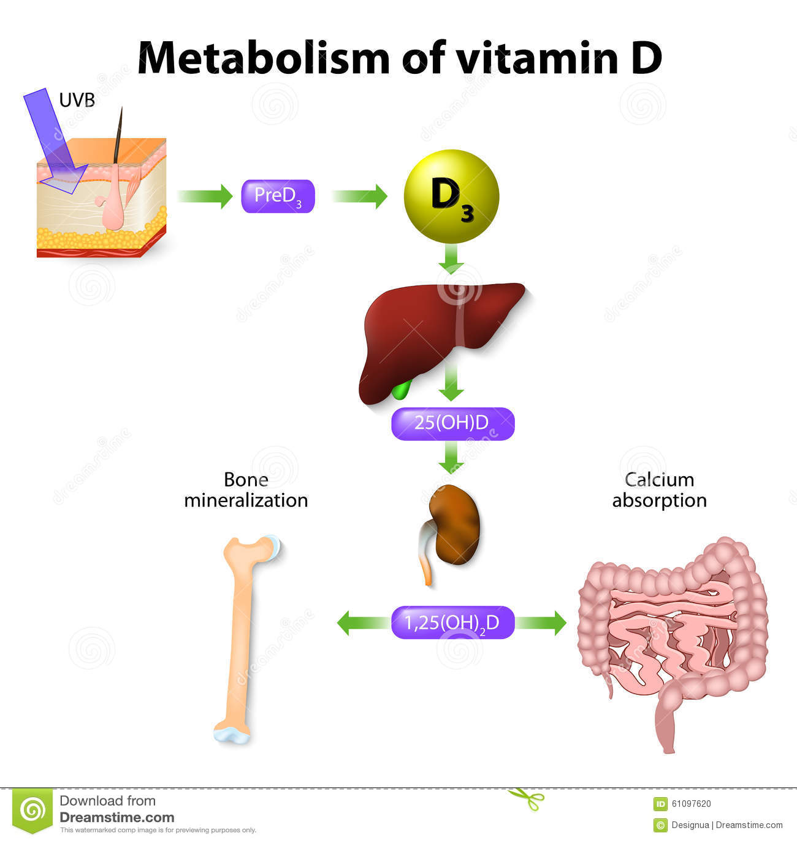 Download Metabolism of vitamin D stock vector. Illustration of education - 61097620