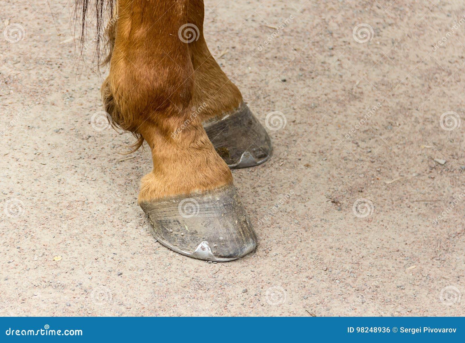 Metal la herradura en los enganches de un primer marrón joven del caballo