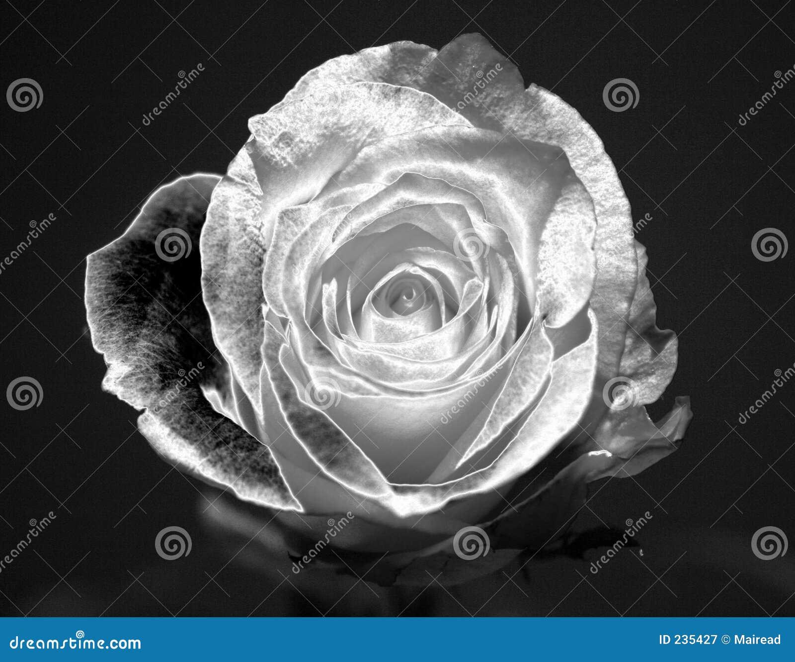 Download Metallic rose stock image. Image of night, black, bloom - 235427