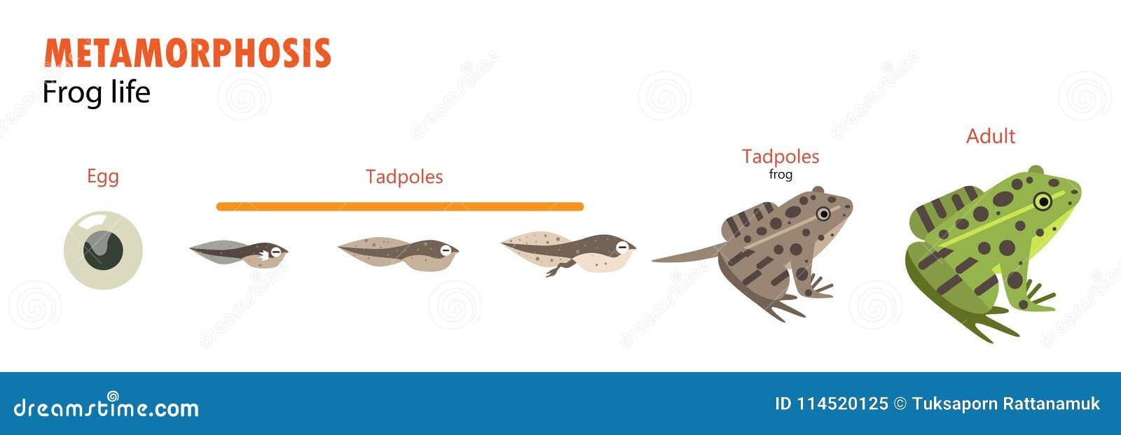 Metamorfos för grodalivcirkulering