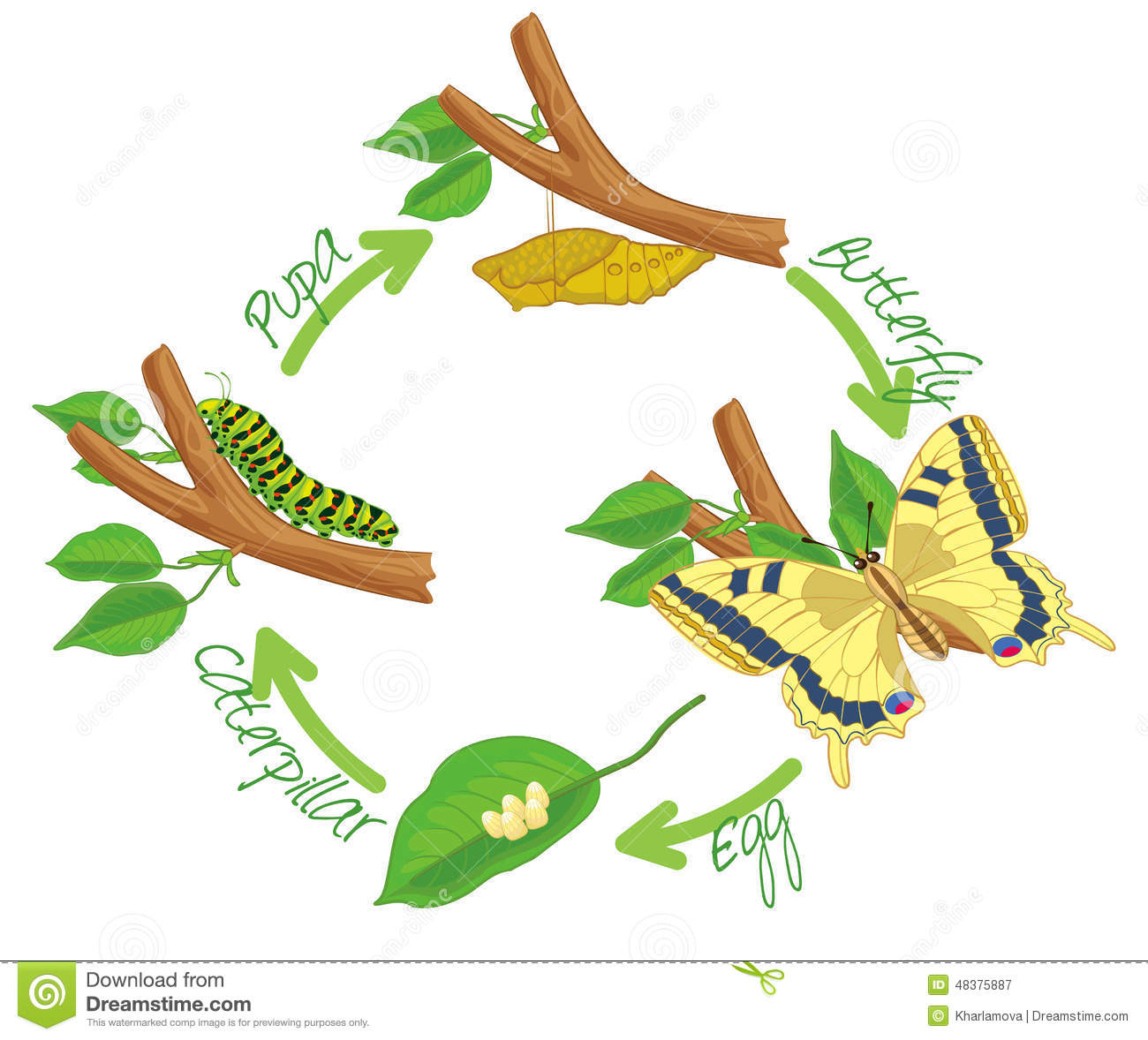 The Metamorphosis Of The Butterfly Stock Vector - Image ...
