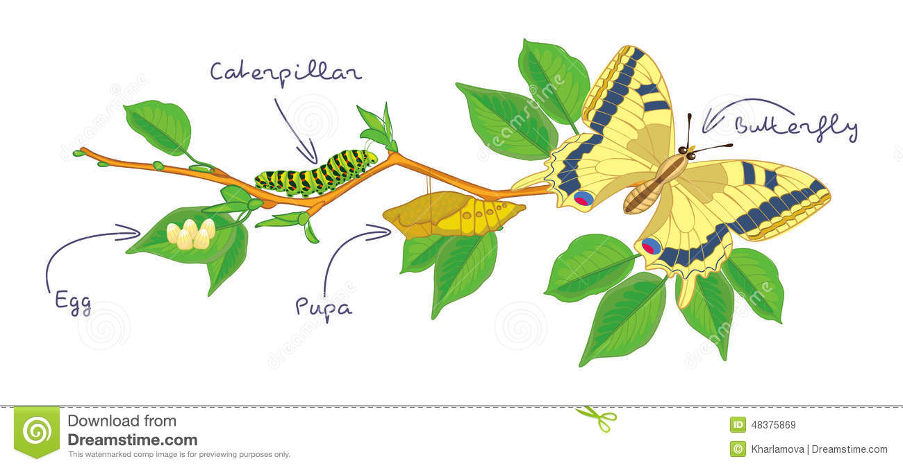 The Metamorphosis Of The Butterfly Life Cycle Stock