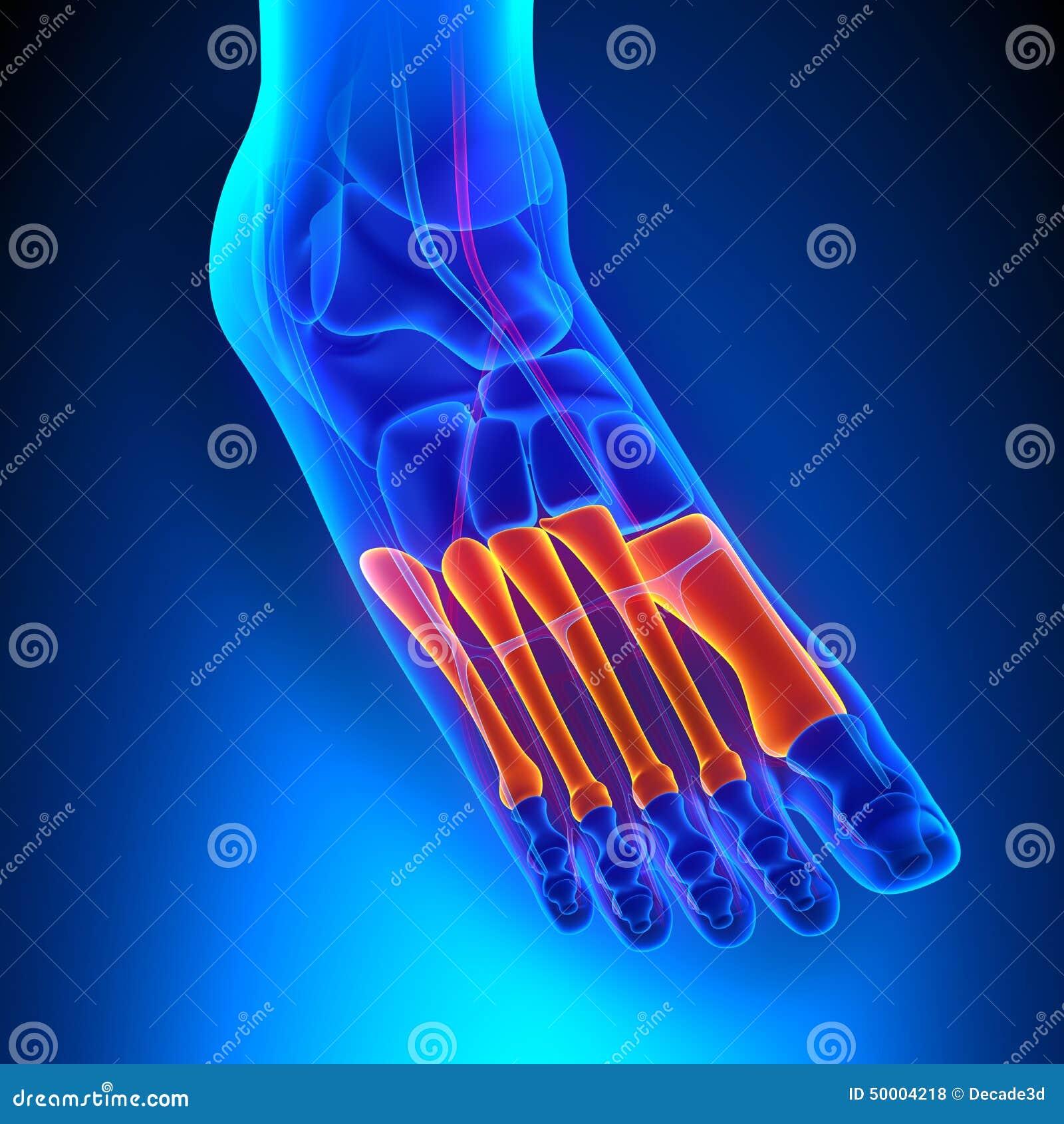 Metatarsals-Knochen-Anatomie Mit Kreislaufsystem Stock Abbildung ...