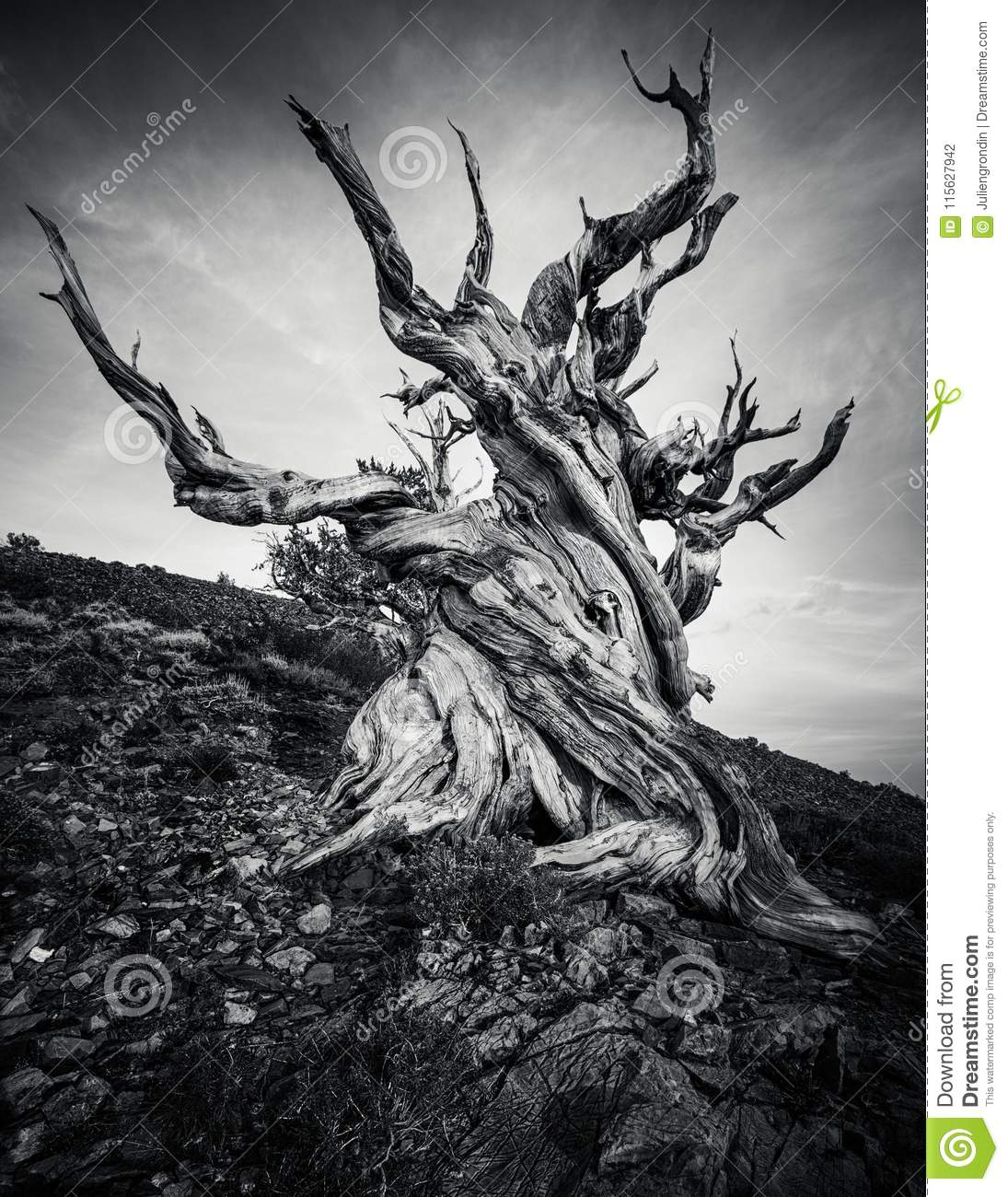 Bristlecone Pine Forest in the white mountains, eastern California, USA