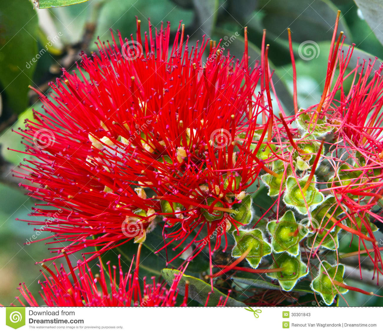 Showy Hawaiian Flower Stock Image Image Of Fuzzy Ohia 30301843