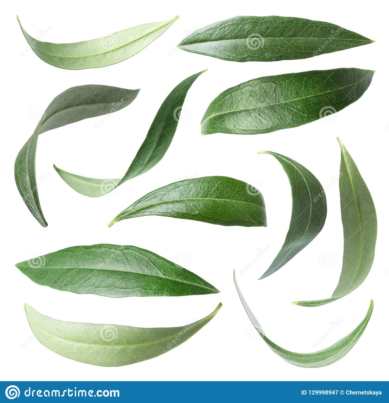 Metta con le foglie verde oliva verdi