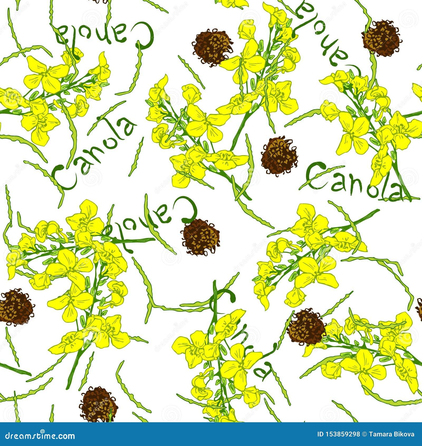 Metta del fiore e dell olio del canola