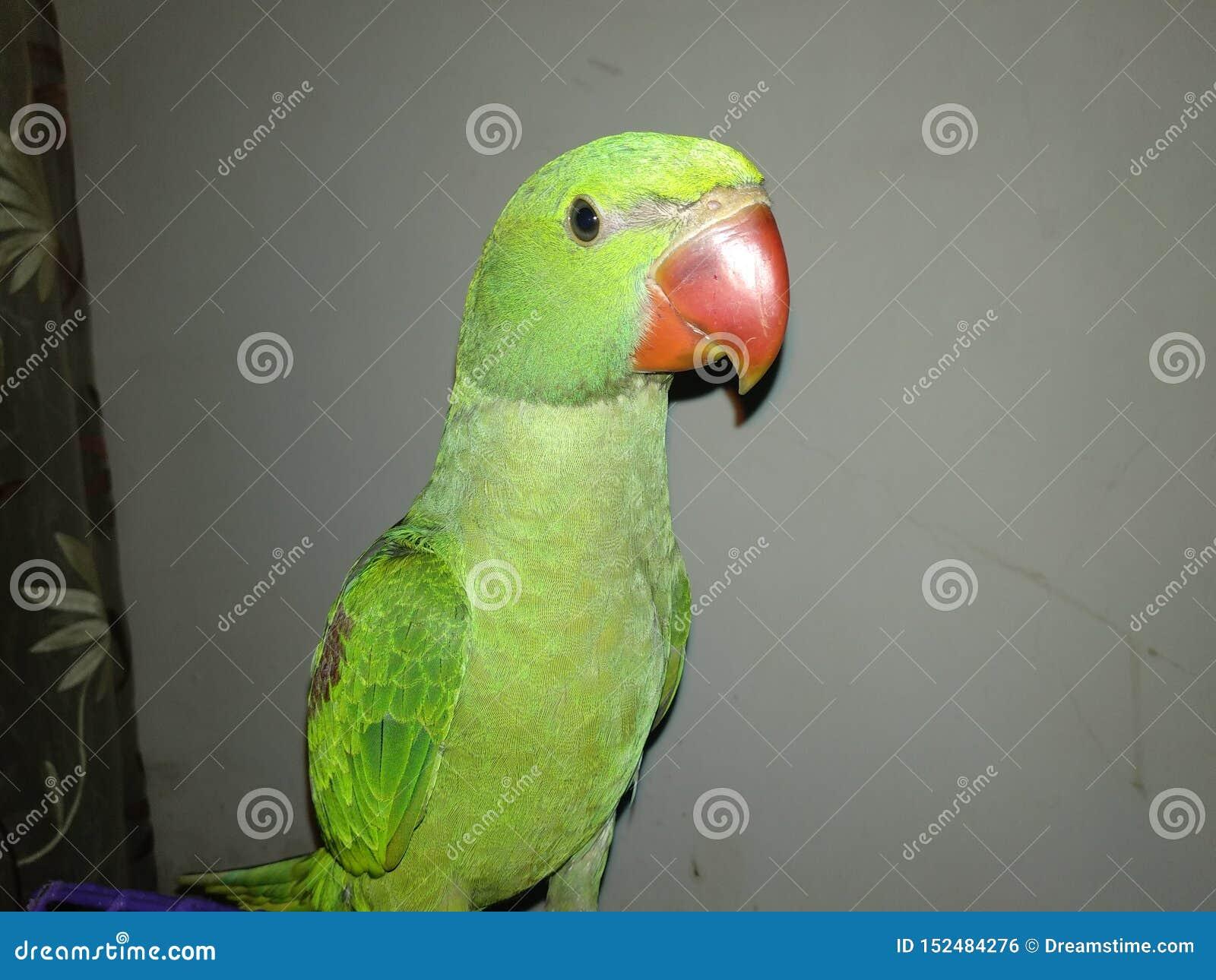 Meu papagaio super que tem o divertimento em casa