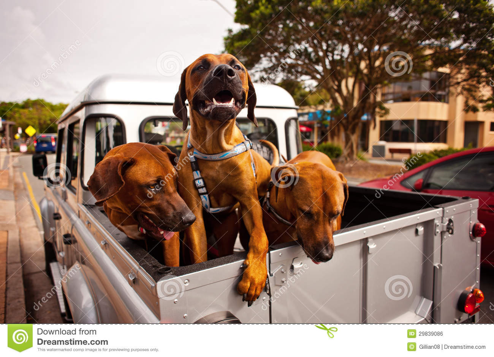 3 cães em um ute