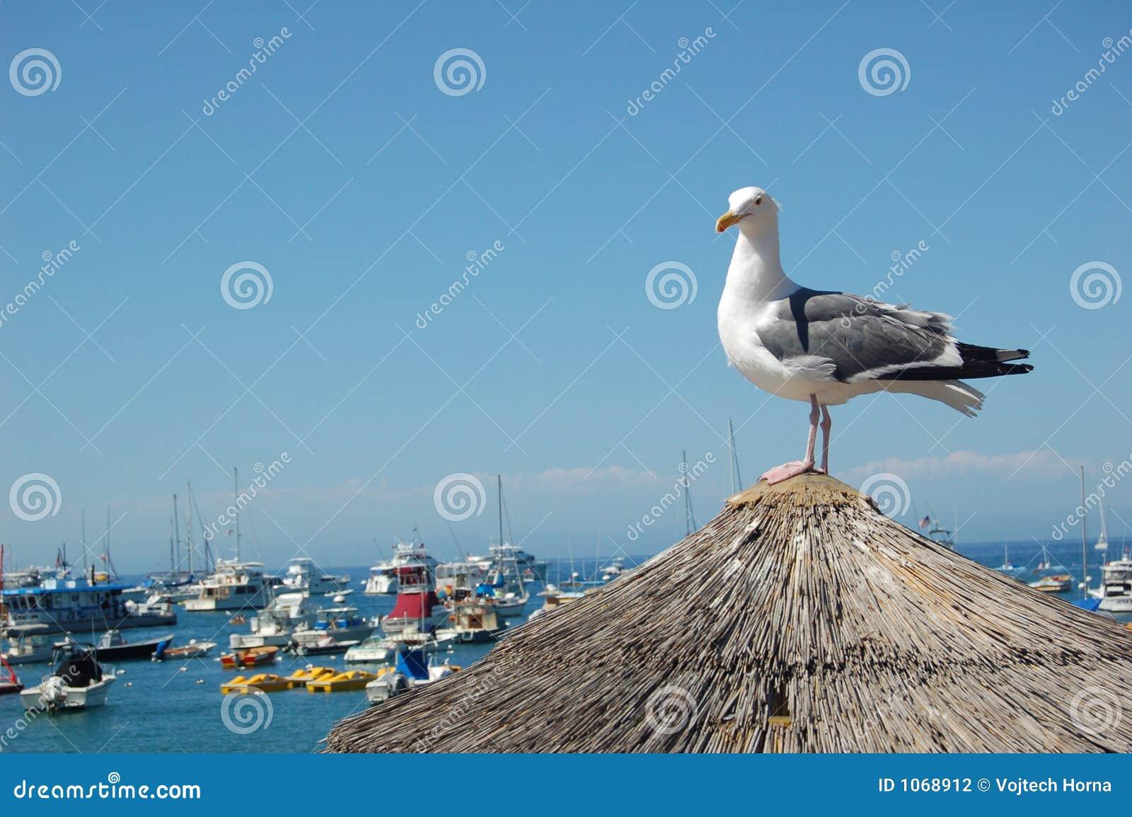 Mewa wyspy catalina