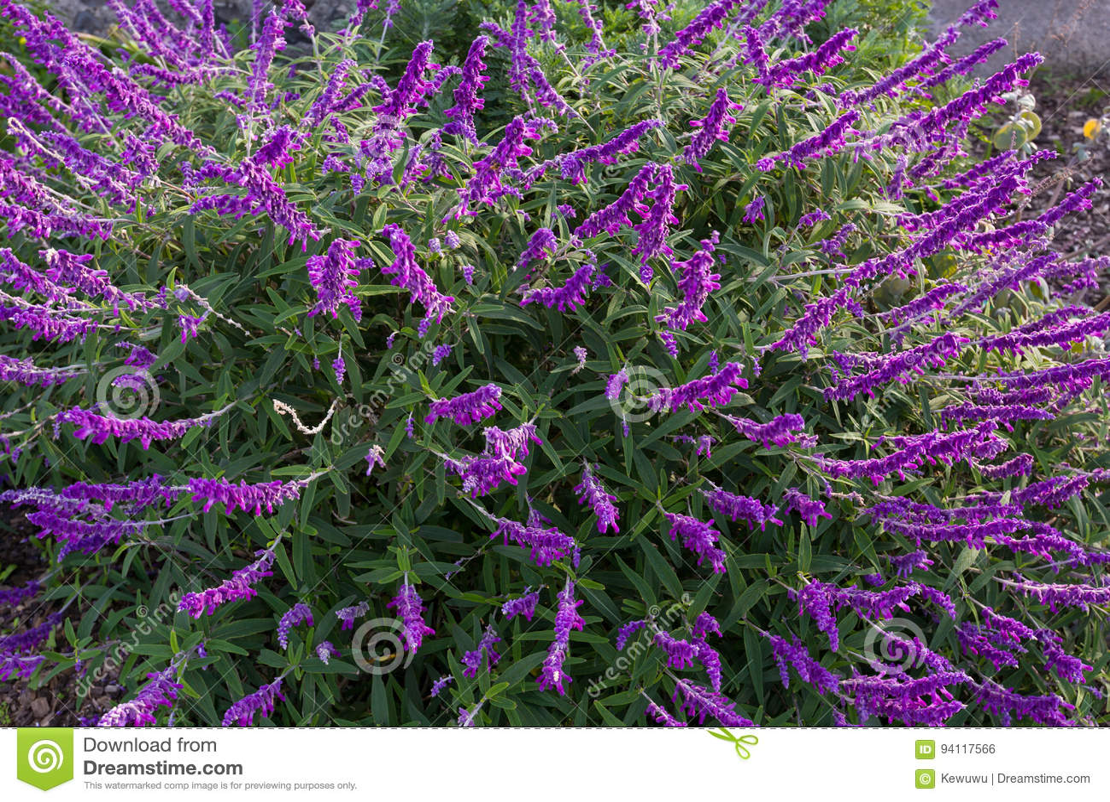 Struiken Met Bloemen Voor In De Tuin.Mexicaanse Struik Wijze Bloemen In Purpere Schaduw In De