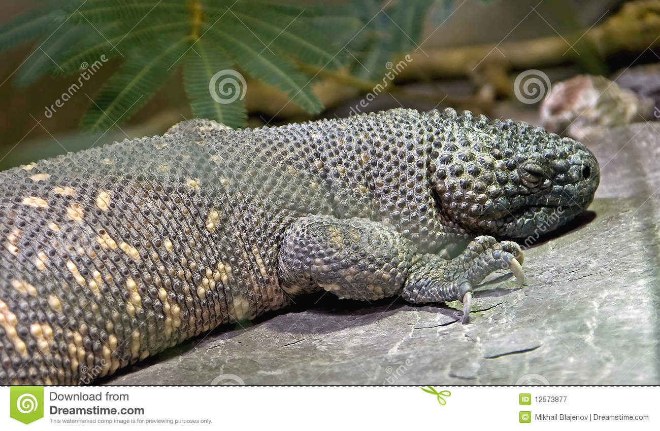 Mexican Beaded Lizard 2 Royalty Free Stock Photography Image