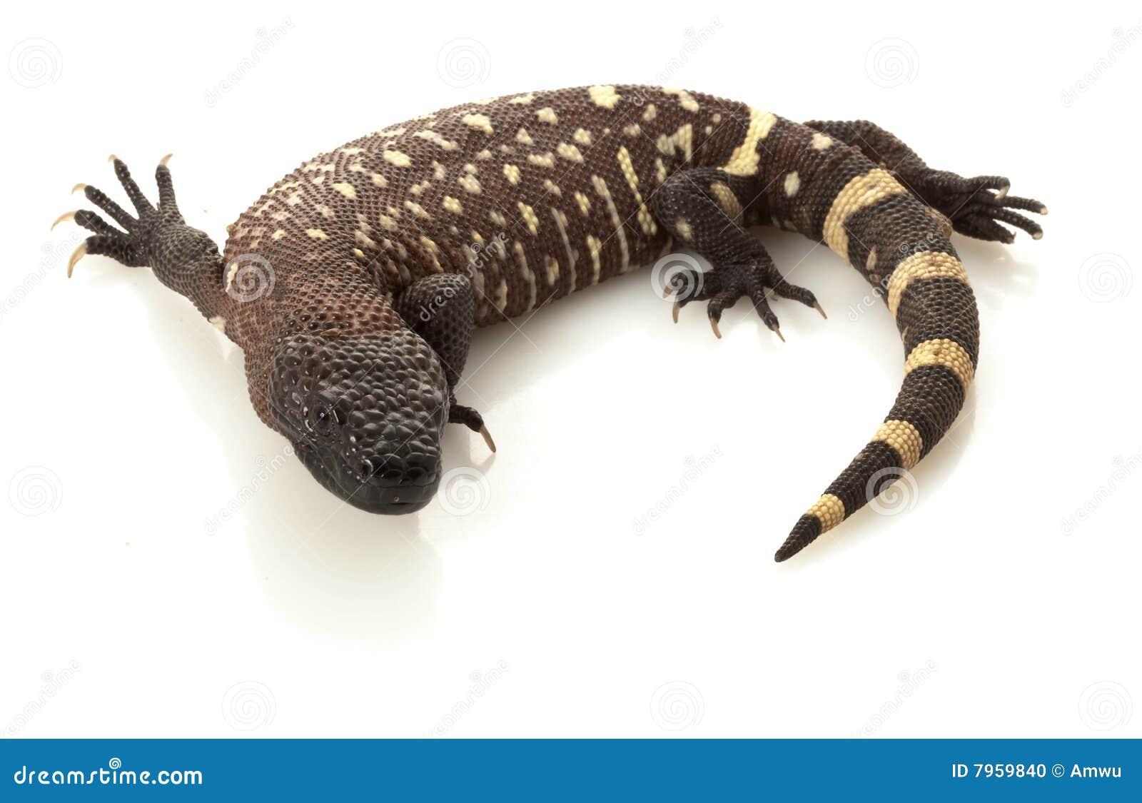 Mexican Beaded Lizard Stock Photo Image 7959840
