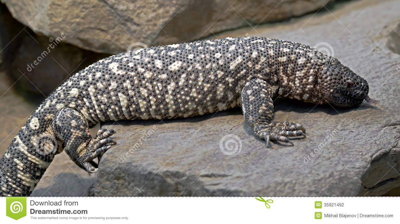 Mexican Beaded Lizard 1 Stock Photography Image 35921492