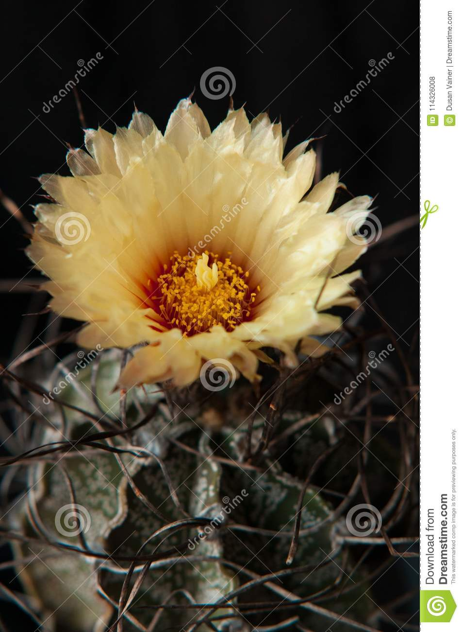 Mexican Cactus With Curly Spines Astrophytum Capricorne With Yellow