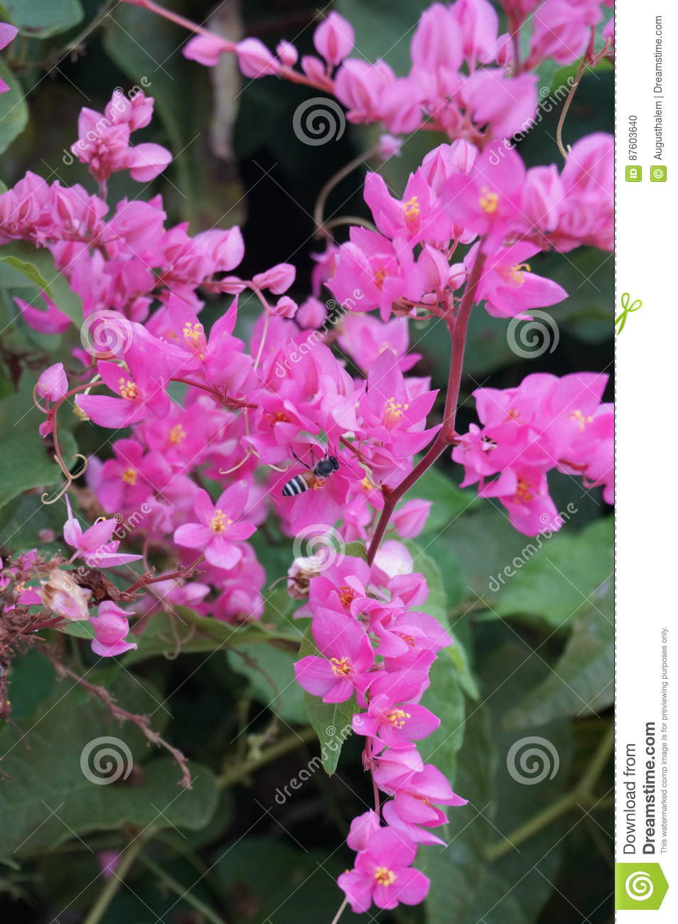 Mexican Creeper Bee Bush Flowers Stock Photo Image Of Flora