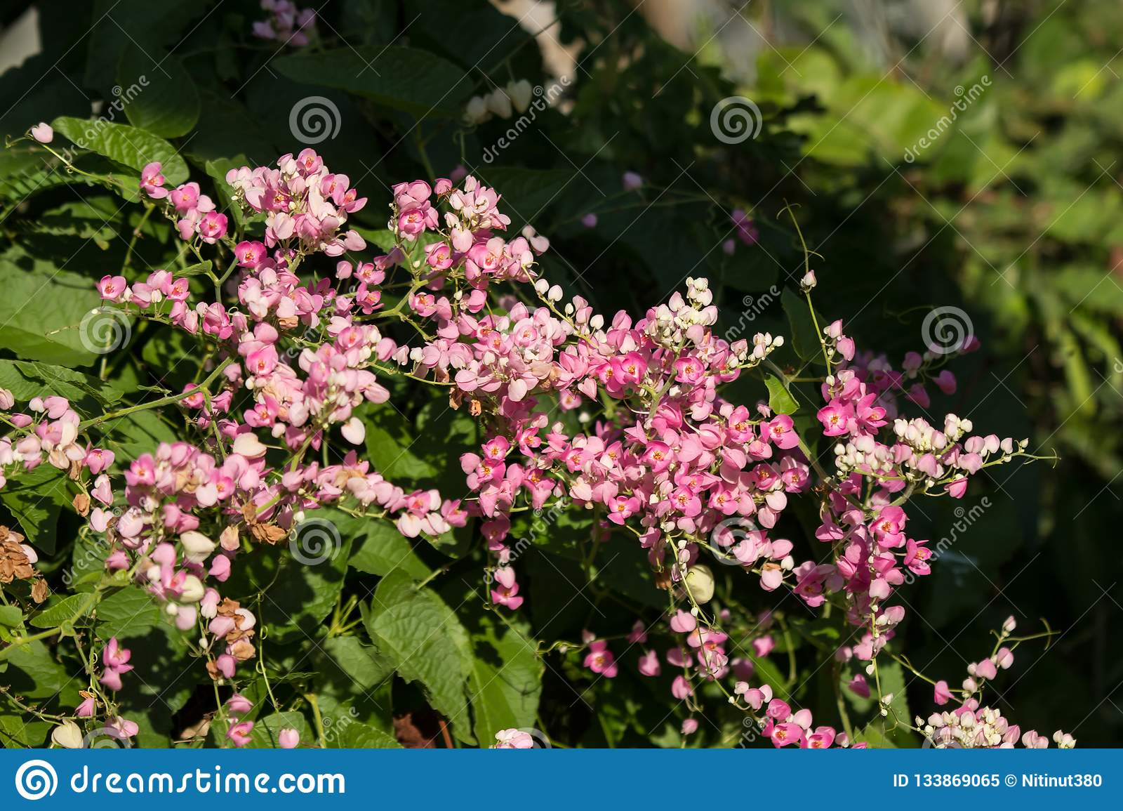 Mexican Creeper Flower Small Pink Mix White Flower Stock Image