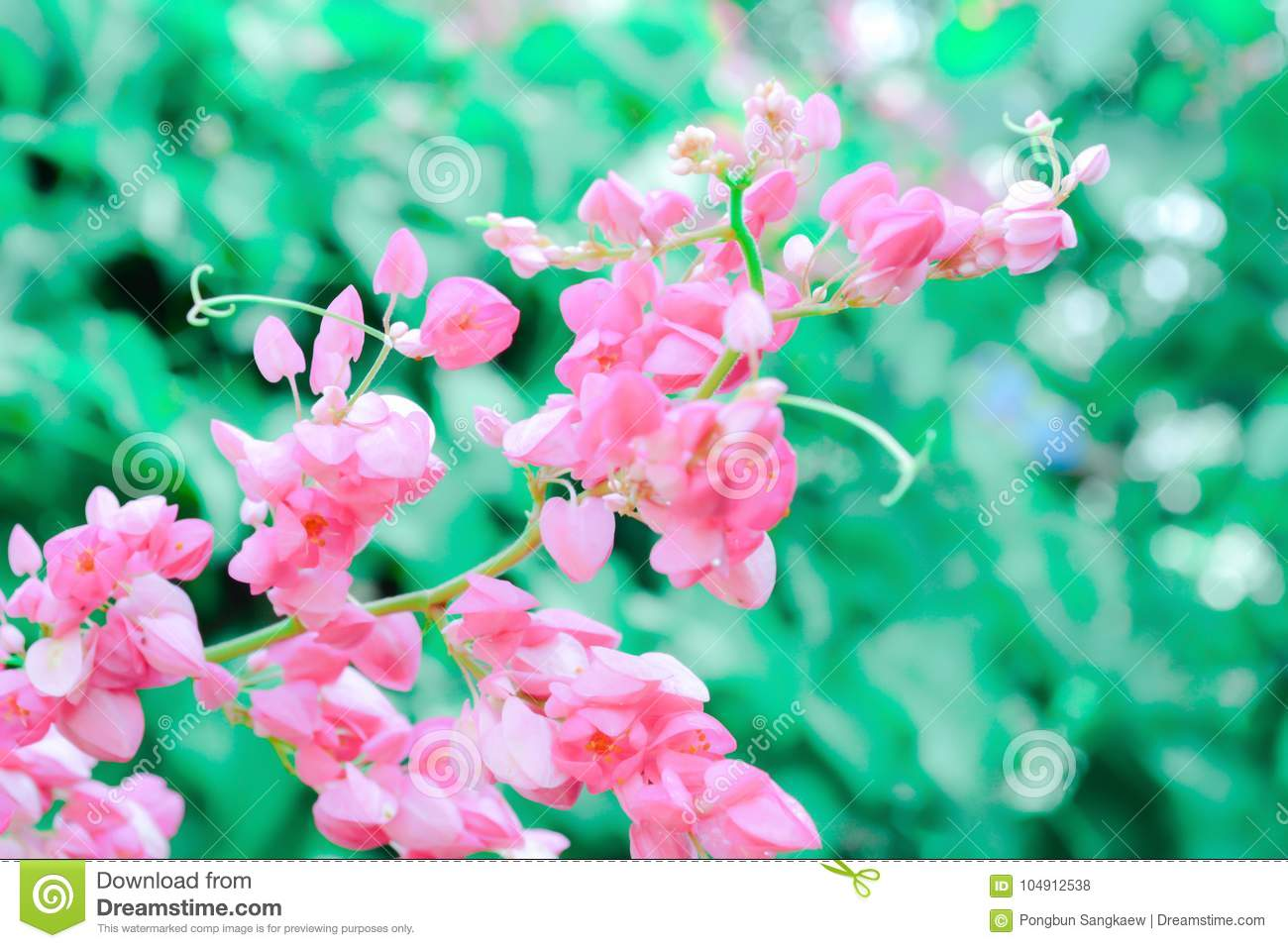 Mexican Creepersmall Pink Flower Nature Background Stock Photo