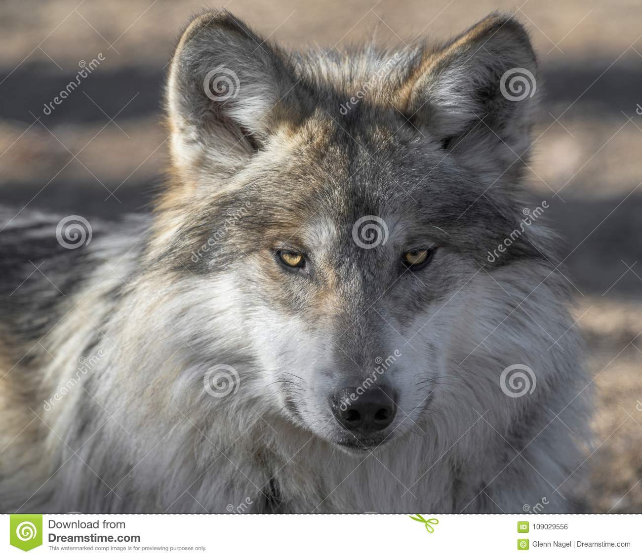 Mexican gray wolf closeup portrait