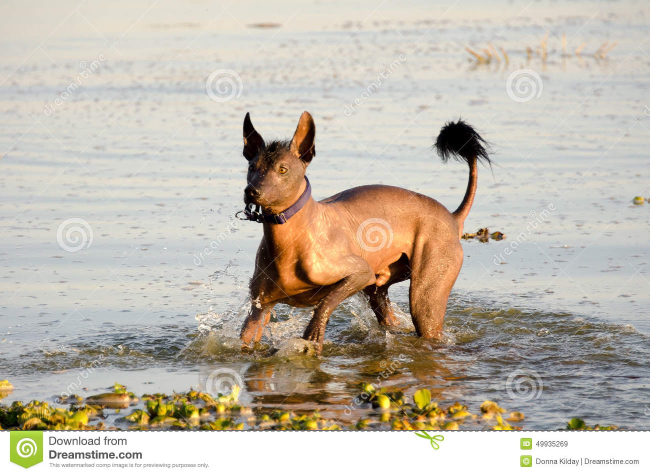 Mexican hairless dog - Xochointcuintle