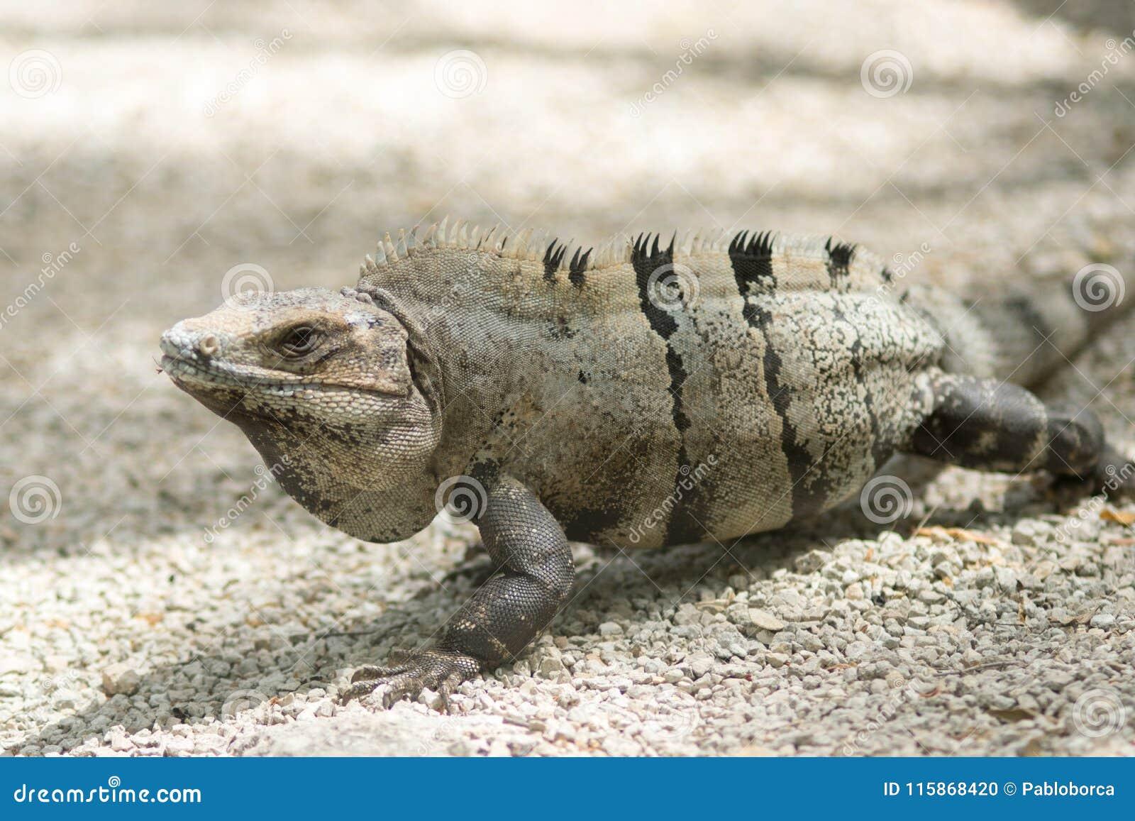 Mexican iguana at Tulum ruins