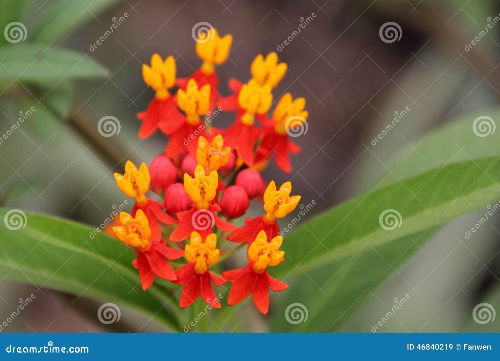 Mexican milkweed flower