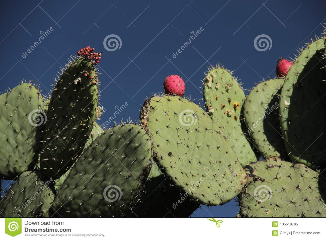 Cactus Nopal And Tuna In Mexico  Stock Image - Image of cactaceae
