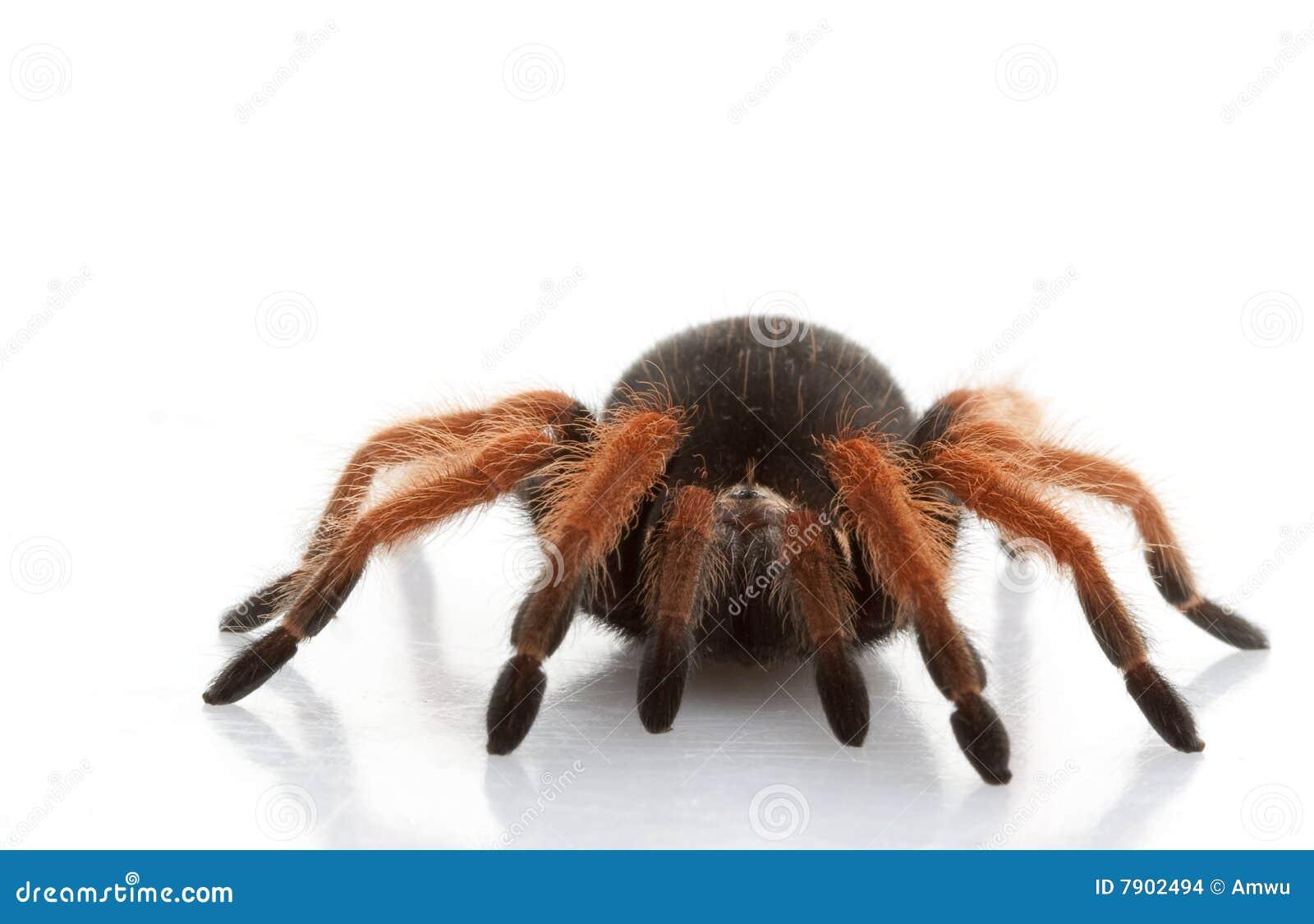 Mexican red leg tarantula