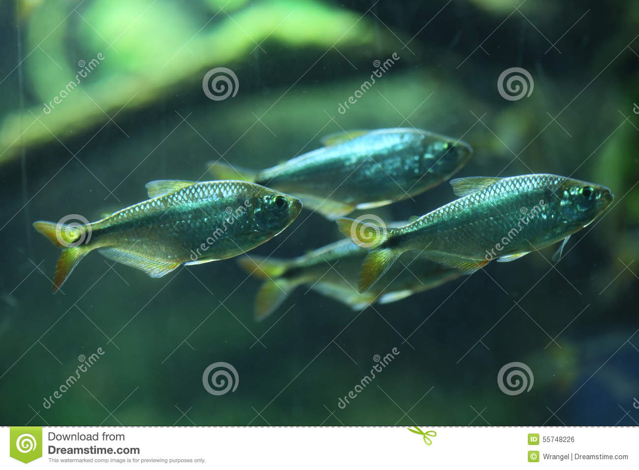 Mexican Tetra (Astyanax Mexicanus) Stock Photo - Image of animals ...