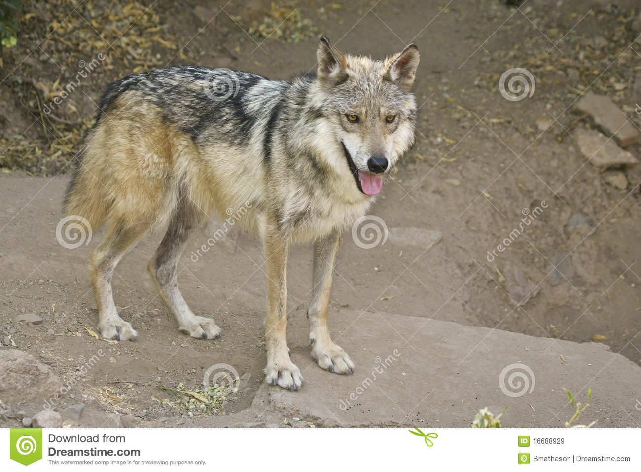 3ebbe8d90 Mexican Wolf (Canis lupus baileyi) on the hunt in the Sonoran Desert